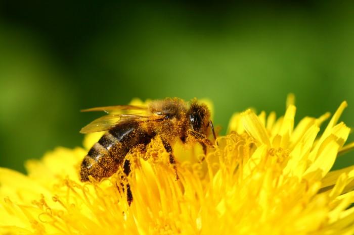 Polinización por abejas